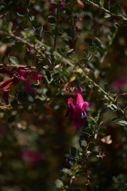 eremophila, valentine, small sunny garden, garden bloggers bloom day, amy myers, desert garden