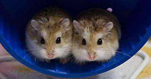 How to Take care Baby Dwarf Hamsters | About Your Pet