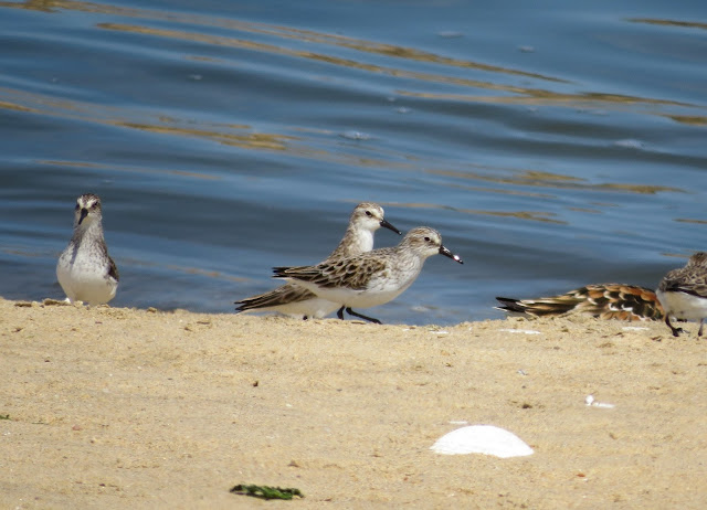 Semipalmated Sandpiper - Jamaica Bay, New York