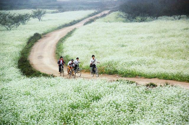 du lịch Mộc Châu - hoa cải trắng mộc châu