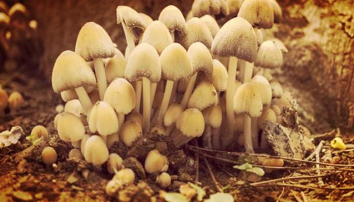 Plantas alucinogenas