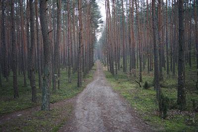 las sosnowy między Wierszami a Zaborowem