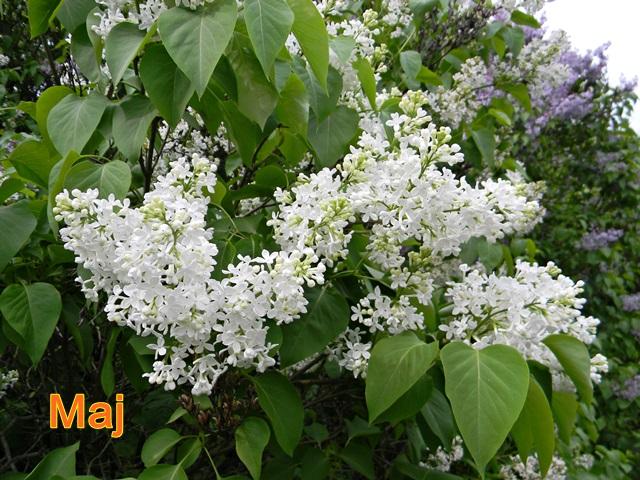 kwitnące białe i liliowe bzy