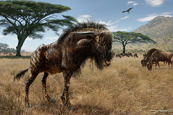 Study finds wildebeest relative, dinosaurs evolved similar bony crests on skulls