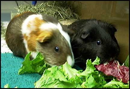 Guinea Pig Diet - What Do Guinea Pigs Eat? | A Complete Blog