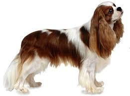 Anjing Ras Cavalier King Charles Spaniel