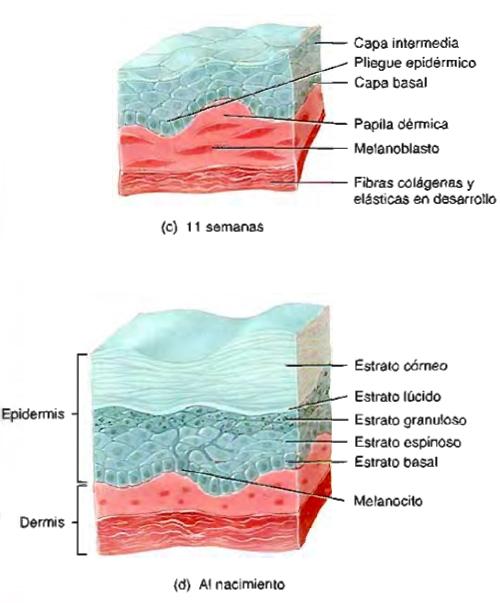 Sistema tegumentario piel pliegue epidérmico
