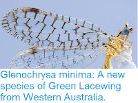 http://sciencythoughts.blogspot.co.uk/2015/12/glenochrysa-minima-new-species-of-green.html