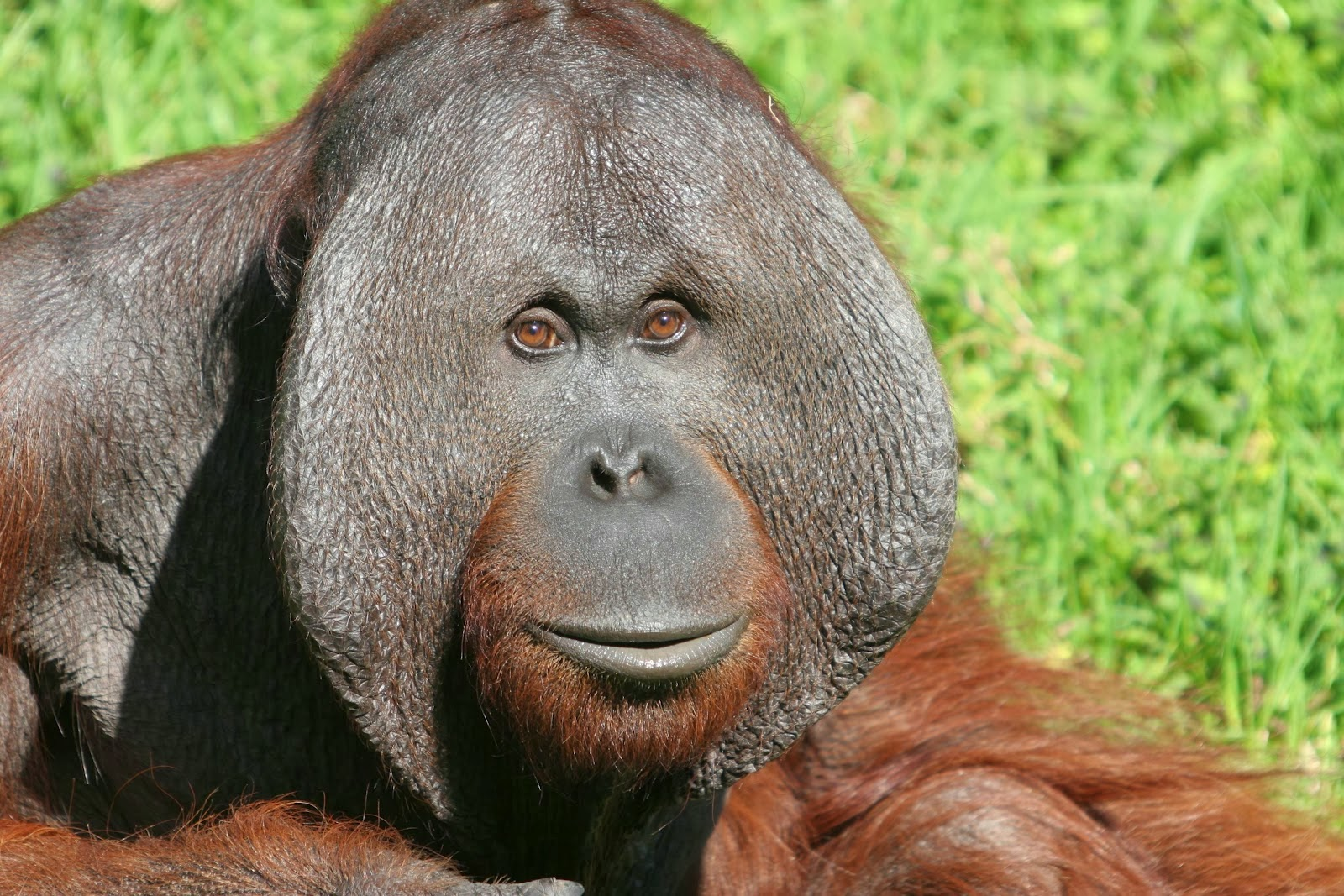 gorilla life cycle diagram saab 9 3 engine of an orangutan a koala elsavadorla