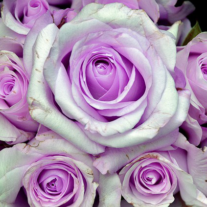Roses in bloom with a pale lilac coloration
