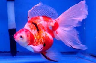Daftar Jenis Ikan Mas Koki dengan harga Termahal