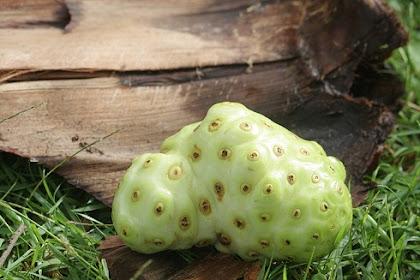 15 Manfaat buah mengkudu untuk kesehatan (noni fruit)