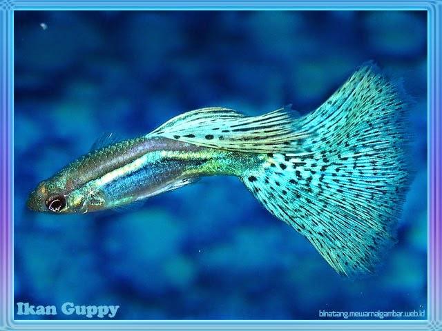 gambar ikan hias gappy