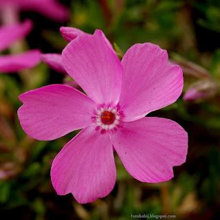 http://fotobabij.blogspot.com/2015/04/phlox-borealis-daniel-floks-ponocny.html