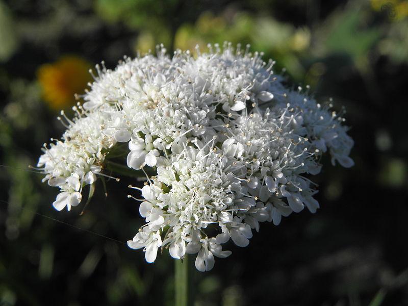 تالغودة Bunium mauritanicum Bunium_bulbocastanum_PDB