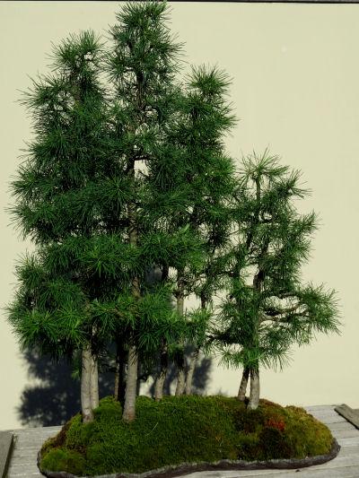 bonsai larch
