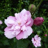 花博記念公園鶴見緑地 八重咲きのむくげ