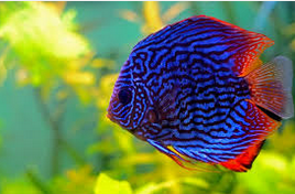 Sejarah Ikan Hias Discus biru