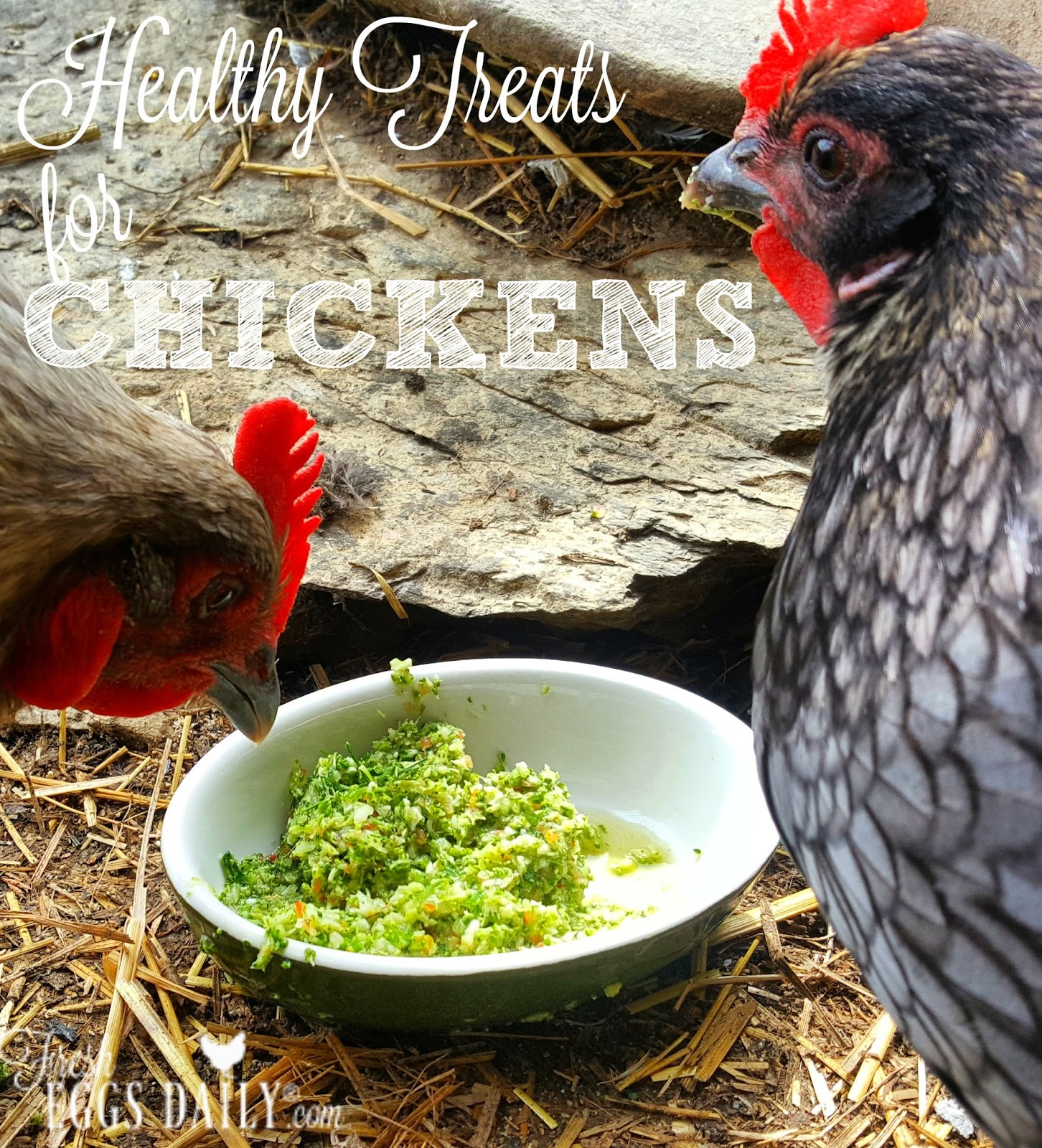healthy treats for chickens a handy guide fresh eggs daily