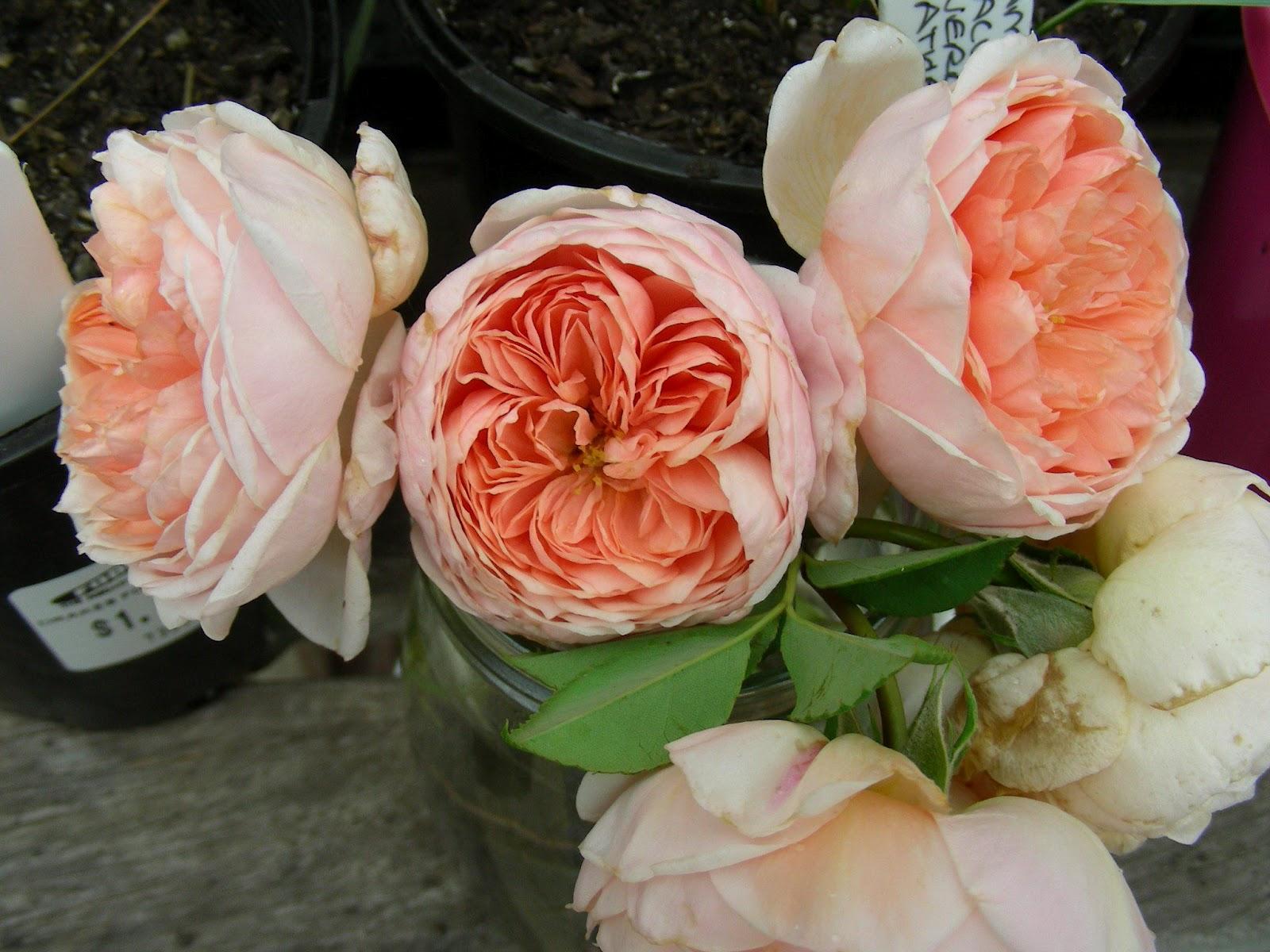 rose garden david austin roses. Black Bedroom Furniture Sets. Home Design Ideas