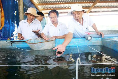 Nông dân đầu tiên ở Quảng Ngãi nuôi được con ông uống bà khen