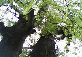 mitos pohon asem jadi rumah jin