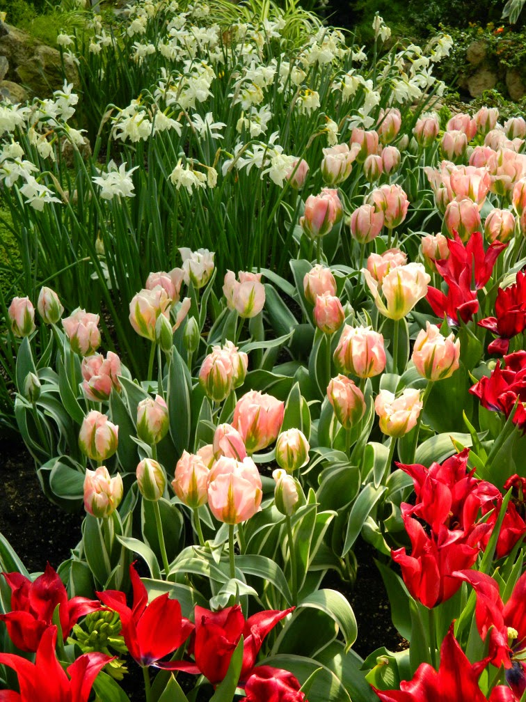Tulipa Green Wave Parrot tulips Centennial Park Conservatory 2015 Spring Flower Show by garden muses-not another Toronto gardening blog