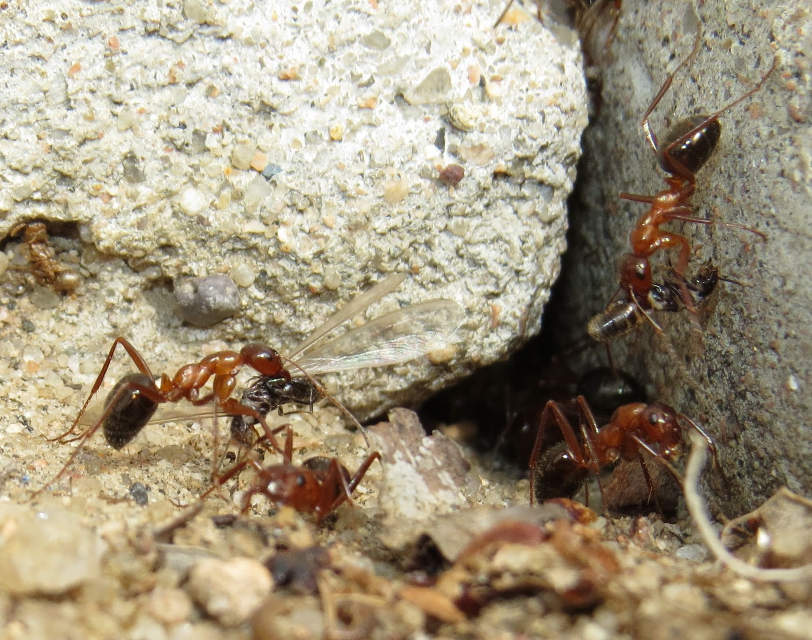 bug eric predator and prey ants versus termites. Black Bedroom Furniture Sets. Home Design Ideas