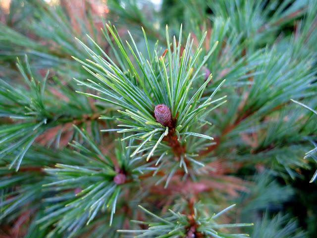 Encyklopedia roślin- drzewa i krzewy iglaste