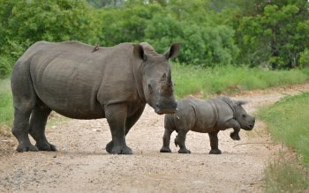 Wallpaper: Wild Animals Rhinoceros