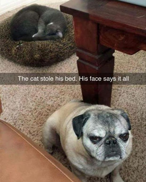 Chân dung 16 chú chó tội nghiệp bị lũ mèo gian ác bắt nạt