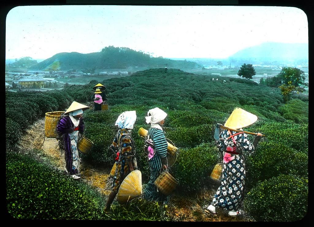 Chùm ảnh xưa về trà Nhật Bản 4