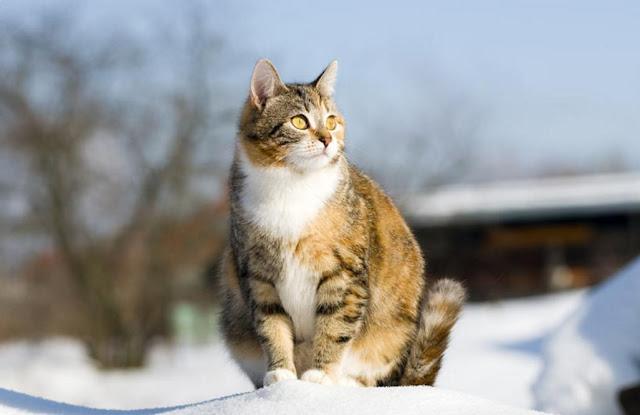 Seputar Kehamilan Kucing