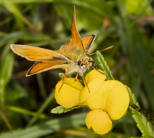 Small Skipper, Thymelicus sylvestris, on Common Bird's-foot Trefoil, Lotus corniculatus.  6 July 2016.