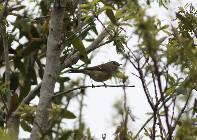 Ruby-crowned Kinglet - Orlando, Florida