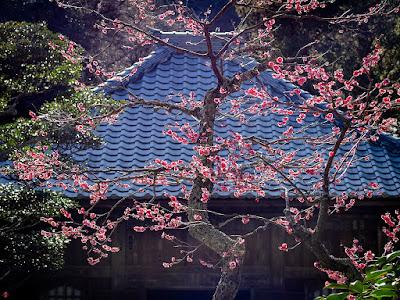 Red Ume (Japanese apricot) flowers: Kaizo-ji