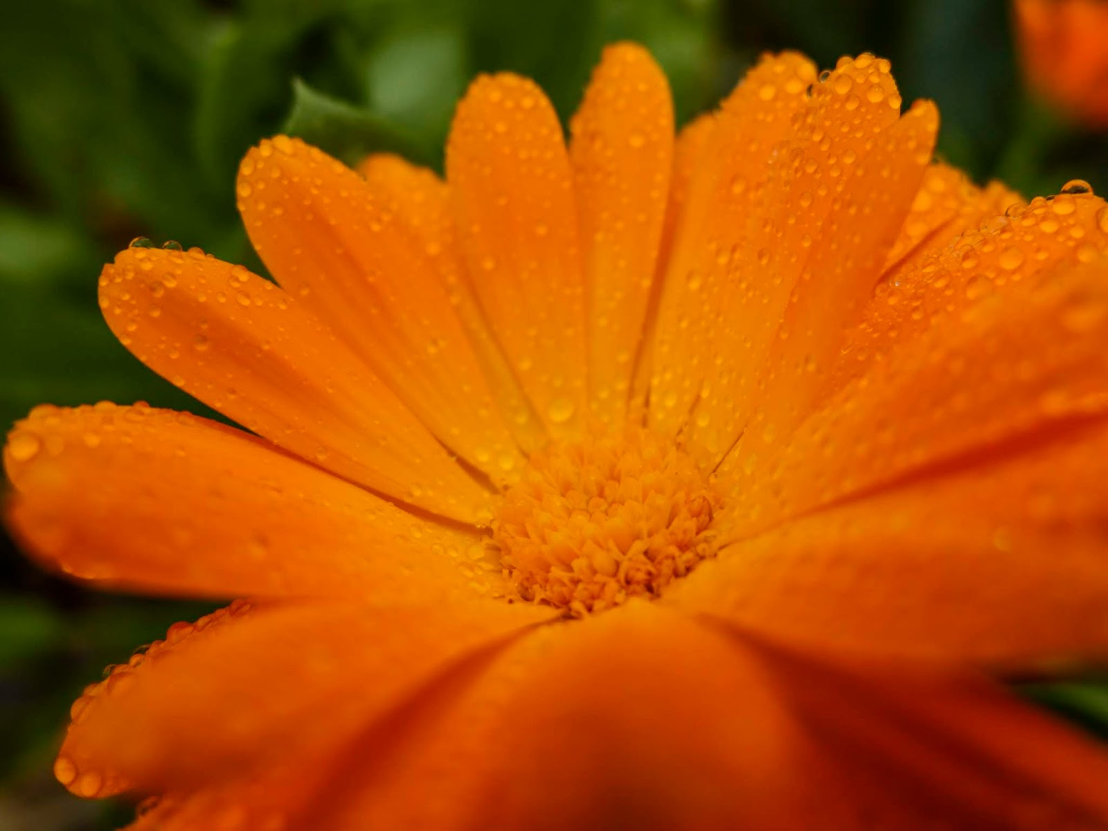 Dew drops on orange Calendula flower petals.