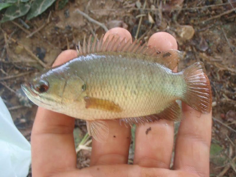 khasiat ikan betok