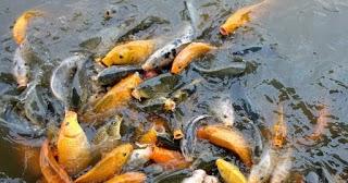 Peluang Bisnis Usaha Budidaya Ikan Mas Beserta Analisa Usahanya