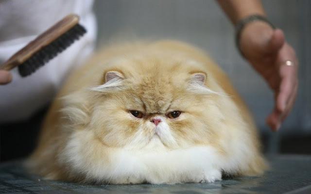 Resultado de imagem para gatos persa