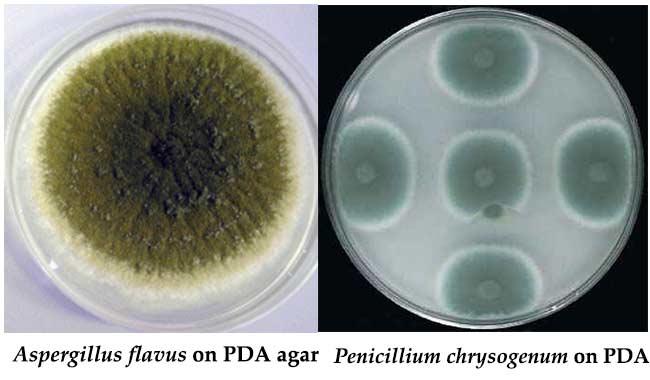 Hasil gambar untuk bibit jamur tiram media jamur PDA