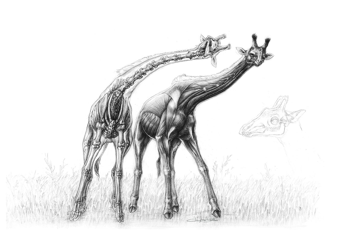 Line Drawing Giraffe : Claytoncreations