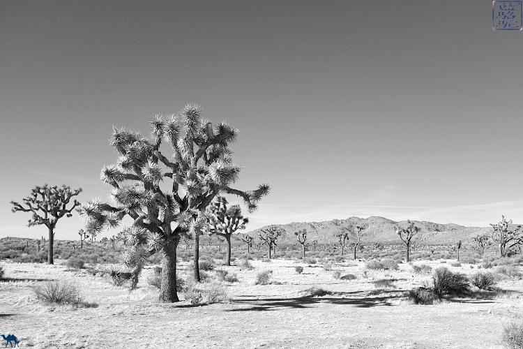 Le Chameau Bleu - Blog Voyage USA Joshua Park et son desert en Californie du Sud USA -Voyage en Californie