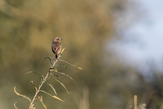 Another Stonechat photo