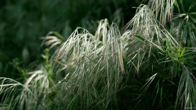 Fili di erba al vento. Foto con Panasonic Leica Nocticron 42.5mm f/1.2