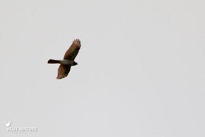 Gavilán común (Accipiter nisus) esperando a su compañero para abandonar a laguna e irse a cazar a otro lado.