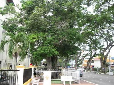 Pokok getah tertua di Malaysia