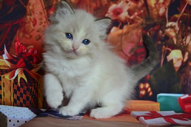 Kuwait Cats and kittens sales and adoption,kuwait kittens and cats