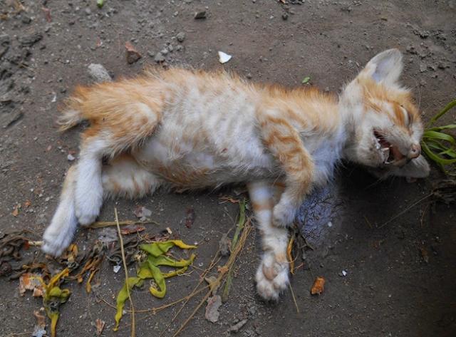 Kesal,Rumah Kemasukan Kucing Liar, Wanita Ini Nekat Racuni Kucing 1 Kampung Hingga 60-ekor Yang Lebih Tewas.