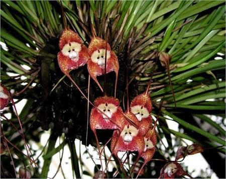 Maravilhosa Orquídea com cara de macaco